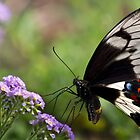 Common Eggfly Butterfly by Frank Moroni