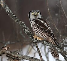 Eye To Eye / Northern Hawk Owl by Gary Fairhead