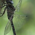 Dragonfly Blues and Greens by Tracy Faught
