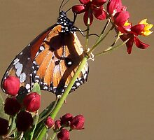 Judy Frizzell's 'Lesser Wanderer Butterfly on Milkweed' by Art 4 ME