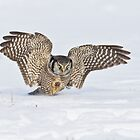 Hawk owl attack by jamesmcdonald