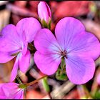 Geranium Flower by sedge808