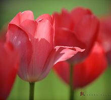 Brooklyn Botanic Garden Tulip Series by leungnyc