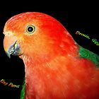 Male King Parrot - Drouin, Victoria by Bev Pascoe