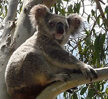 Formal Portrait Sitting - Billy Koala 1 by stevealder