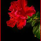Red Hibiscus flower by Jorge's Photography