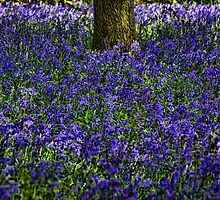 Woodland bluebells by Guy Carpenter