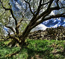 Gnarled tree, growing next to a wall by Guy Carpenter