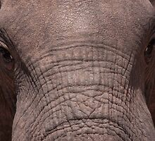 Elephant close up - Addo Elephant Park by JulesM