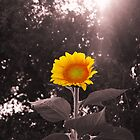 Bright Sunflower by Shane Jones