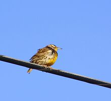 Meadowlark by Sherry Pundt