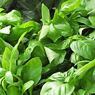 Amazingly Green Basil by Janie. D