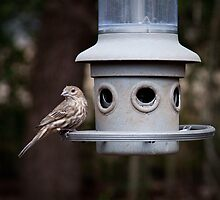 House Finch  by LauraBroussard