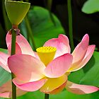 Water lillies by Ali Brown