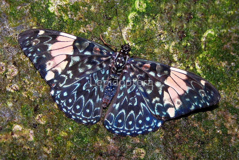 Cracker butterfly - Hamadryas amphinome by Lepidoptera