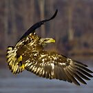 Young Bald Eagle by Dave Parrish