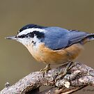 Red-breasted Nuthatch by Michaela Sagatova