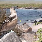 Birds of the Galapagos by Paul Duckett