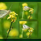 Cabbage Moth by Andrew Prince