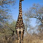 Giraffe by Chris Westinghouse