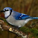 Blue Jay on Mossy Perch by Robert Miesner