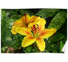 Bright Yellow Lilies Poster