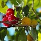 Strawberries on a Tree? by karina5