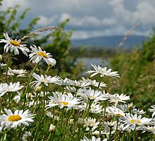 Sherkin Island daisies, West Cork, Ireland by Orla Flanagan