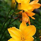 Yellow bloom at Dunedin Botanical Garden by suz01
