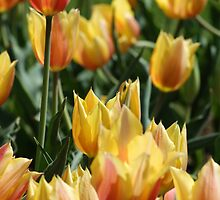 Yellow Tulip Garden by crystalseye