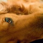 Close up Golden Retriever by Cory Bulatovich