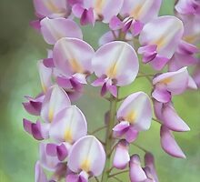 Wisteria, Digitally Enhanced by Gerda Grice