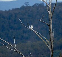 White Goshawk in the Raven tree half way down our  property by Ron Co