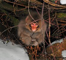 Baby Snow Monkey at Jigokudani Hot Springs by S T