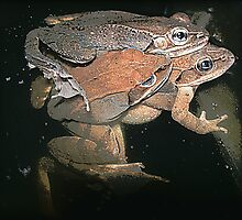 Amplexus/ Wood Frogs by sillyfrog
