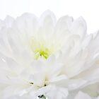 White Chrysanthemum by Michael Hadfield