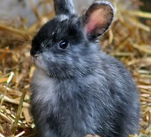 Little Grey Bunny by AnnDixon
