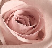 Rose, Take my Breath Away by Gregory J Summers