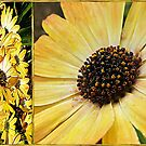 Daisy Diptych by Brenda Boisvert