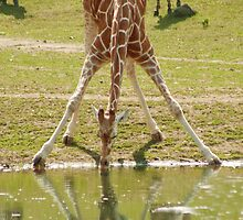 """Everybody's Got Challenges"" - Giraffe struggles for a drink by John Hartung"
