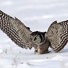 Wings Wide Open / Northern Hawk Owl by Gary Fairhead