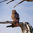 Red Tailed Hawk, Marin Headlands by Don Claybrook