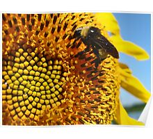 Bumble Bee on a Sunflower Poster
