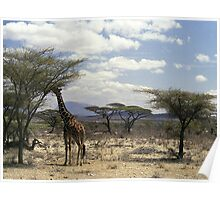 Reticulated Giraffe browsing in Samburu NP, Kenya, Africa Poster