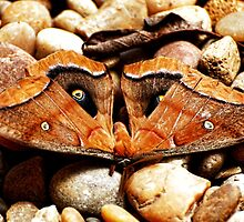 Brown Lunar Moth by barnsis