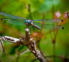 Blue Eyed Dragonfly by imagetj