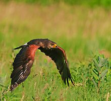 Harris's Hawk in flight by Cycroft