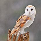 Barn Owl by Cycroft