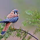 American Kestrel by Cycroft
