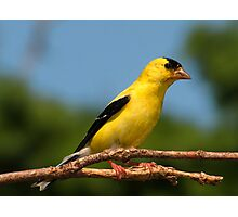 A Sunny American Goldfinch Photographic Print